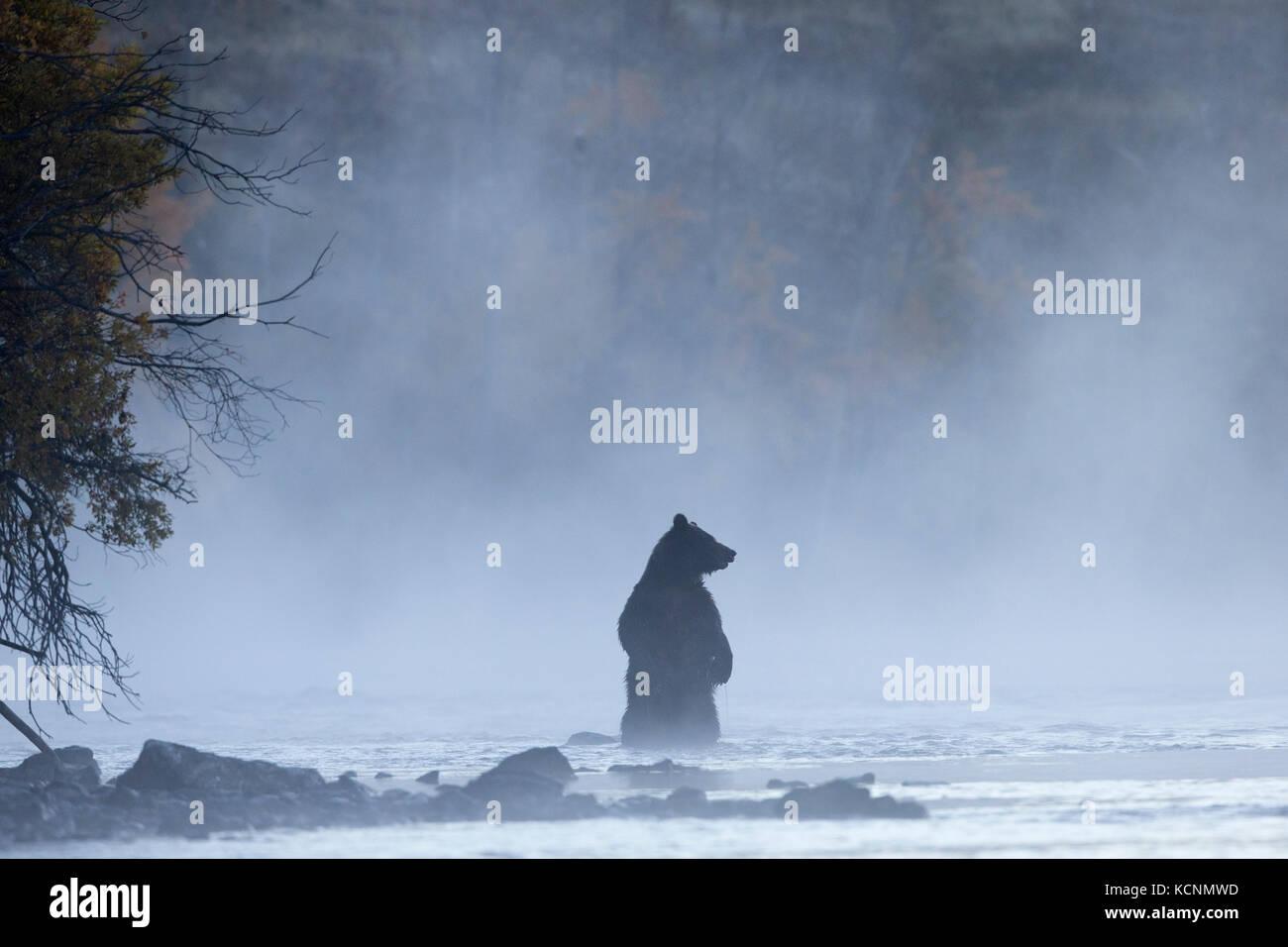 Oso grizzly (Ursus arctos horribilis), hembra de pie en la niebla de la mañana, región chilcotin, British Imagen De Stock