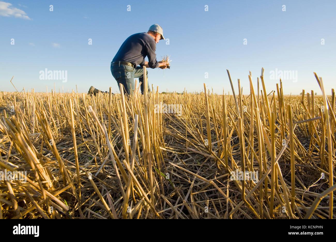 Un campesino en un campo de rastrojo de grano cerca de Winnipeg, Manitoba, Canadá Imagen De Stock