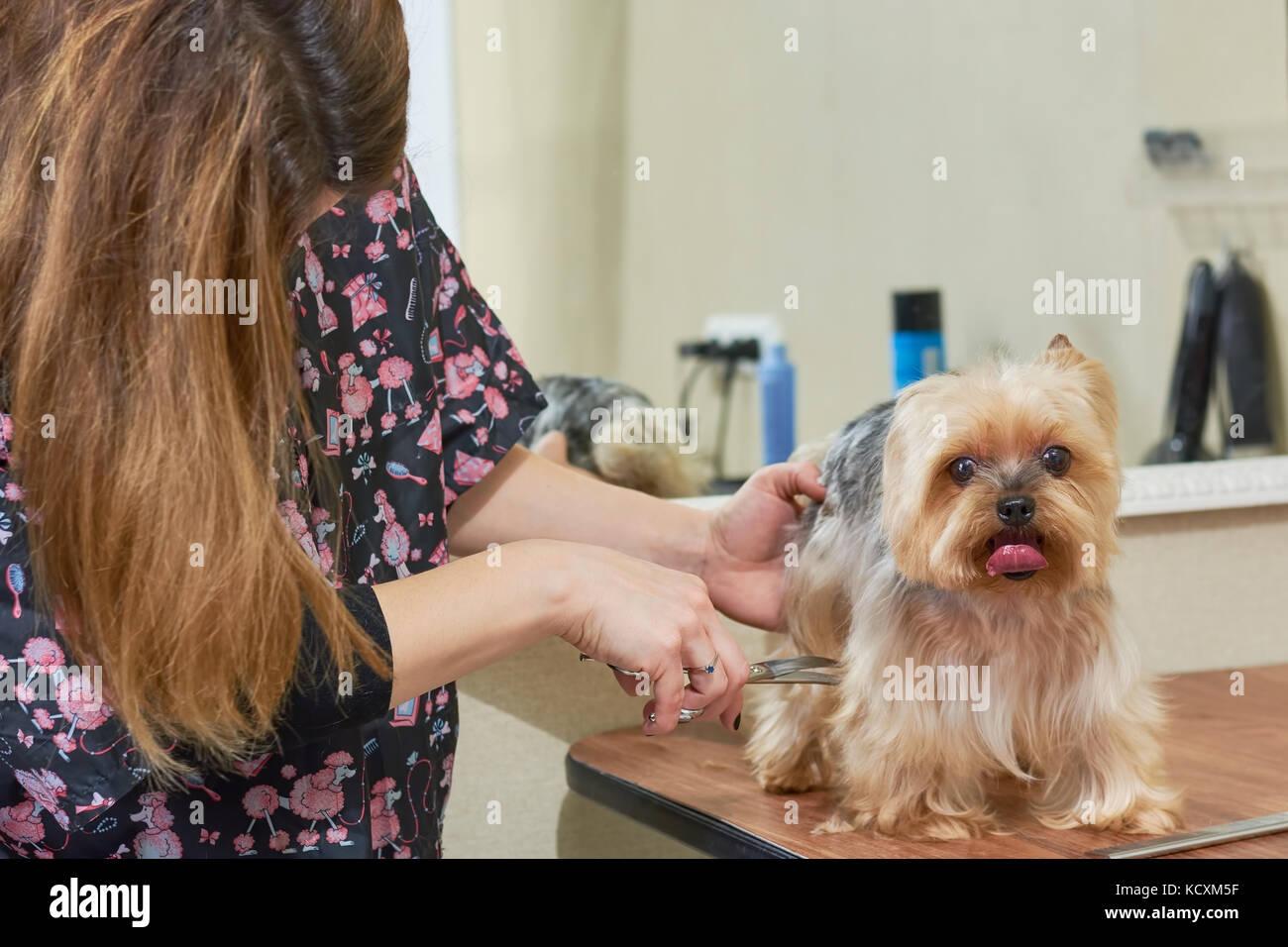 Yorkshire Terrier Obtención De Cortes De Pelo Perrita