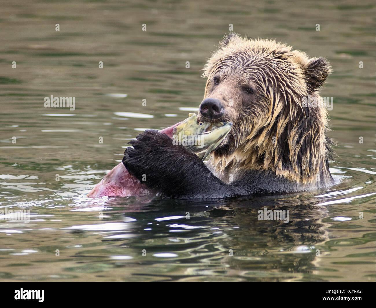 Oso grizzly (Ursus arctos horribilis), sub-adulto, en el agua del arroyo que alimenta el salmón sobre el salmón Imagen De Stock