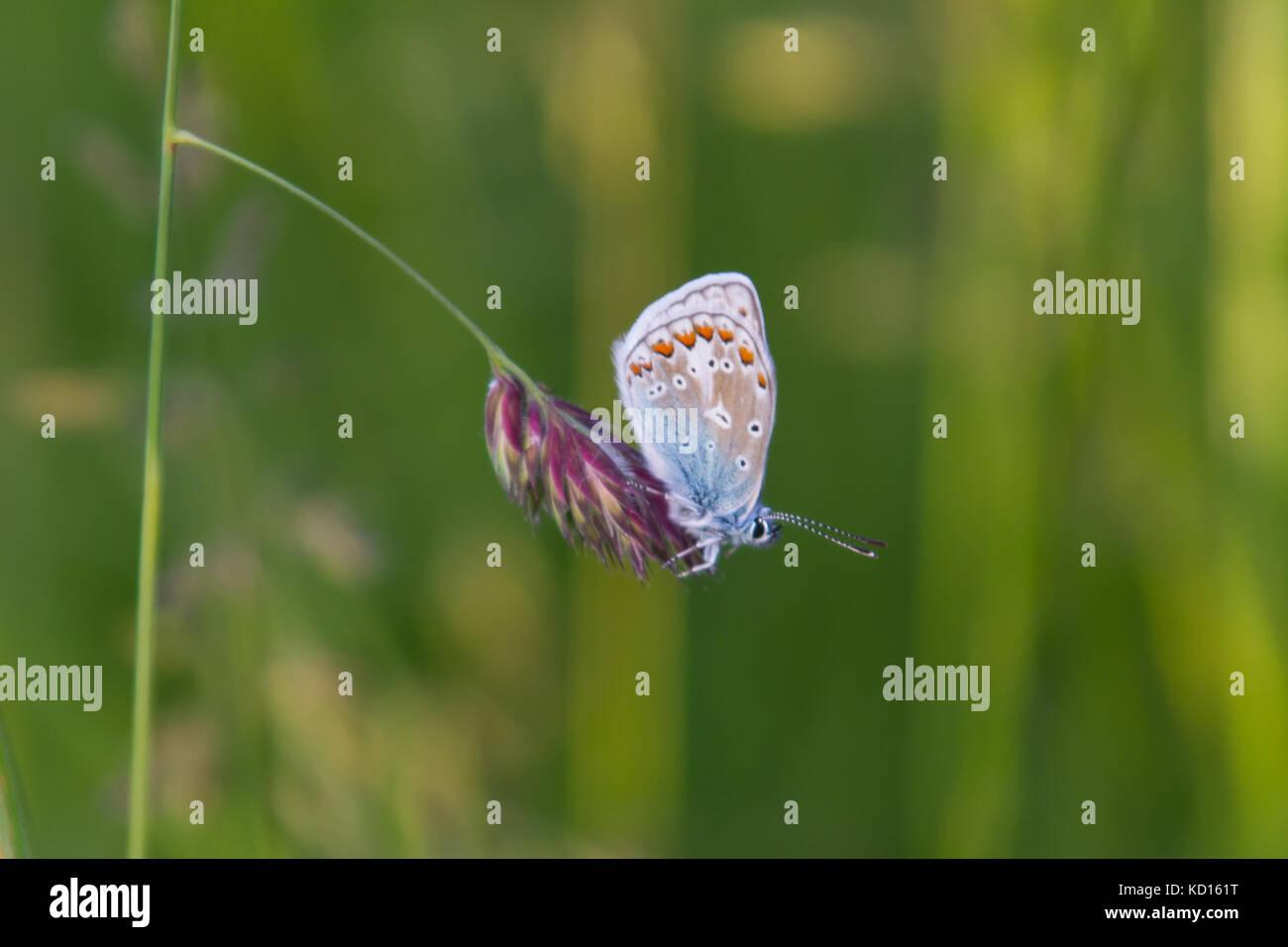 Mariposa Azul común descansando Foto de stock