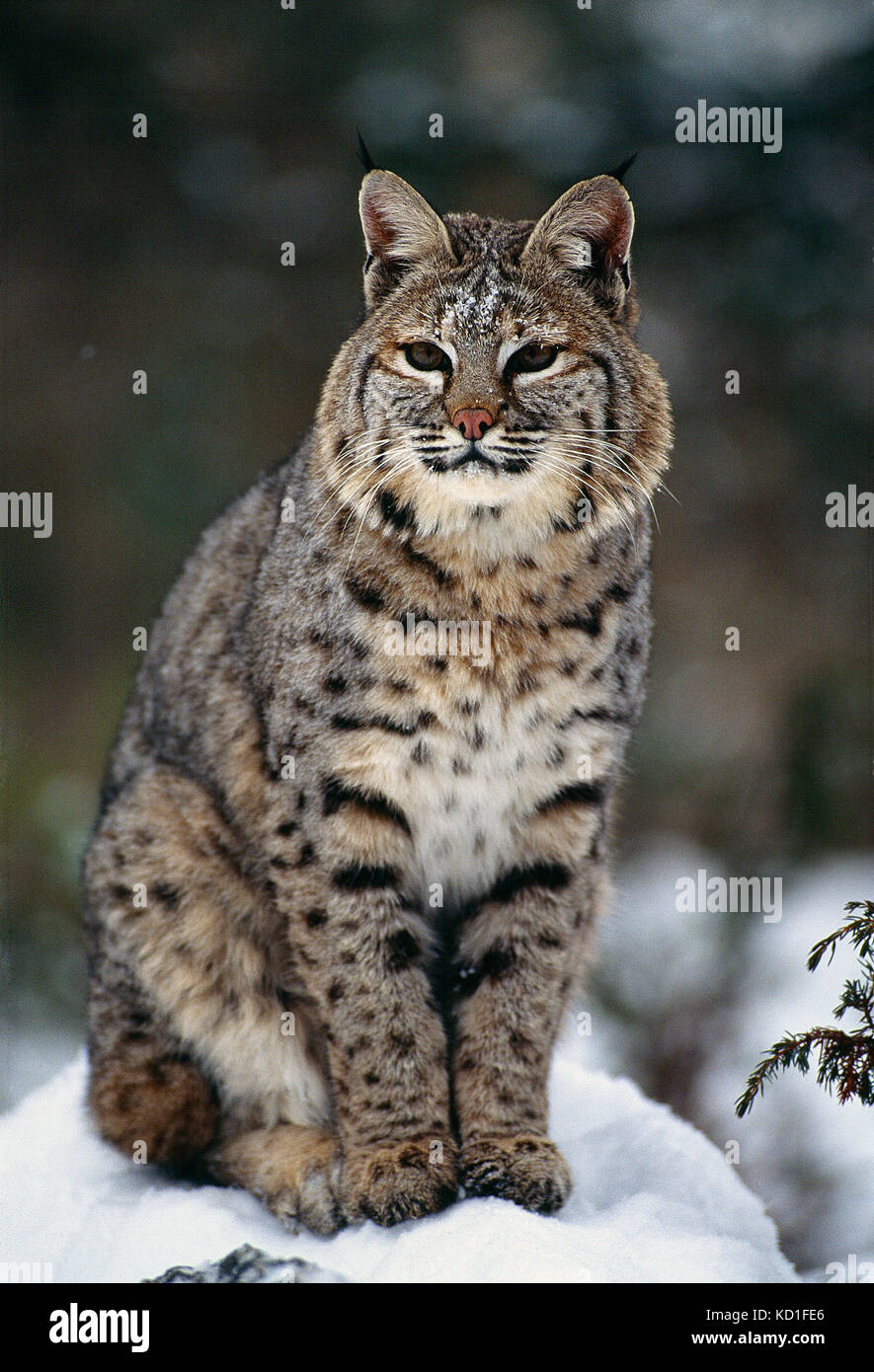 Ee.Uu. montana. Wildlife. bobcat en invierno. Imagen De Stock