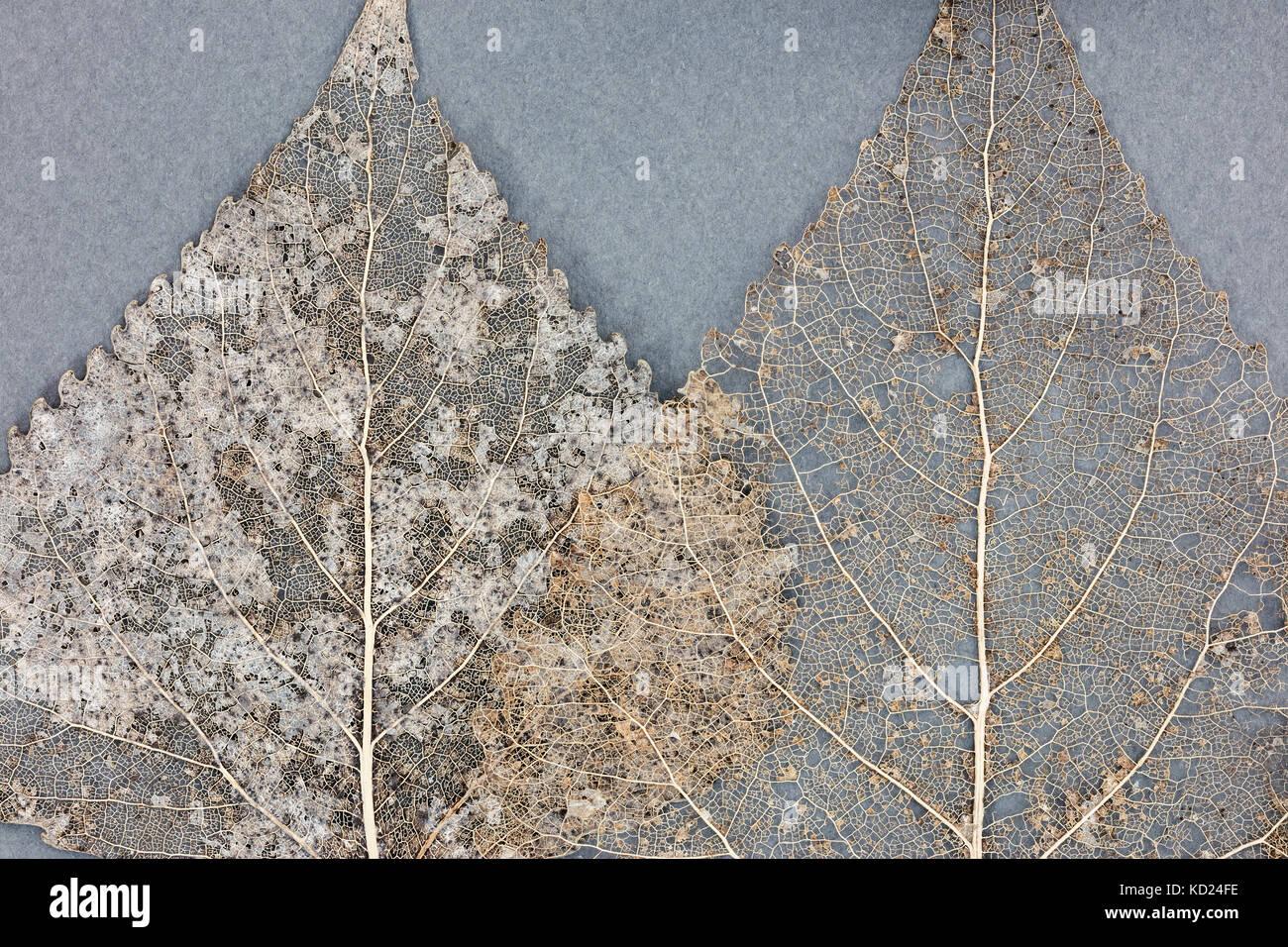 Esqueleto secas hojas sobre fondo gris vista detallada Foto & Imagen ...