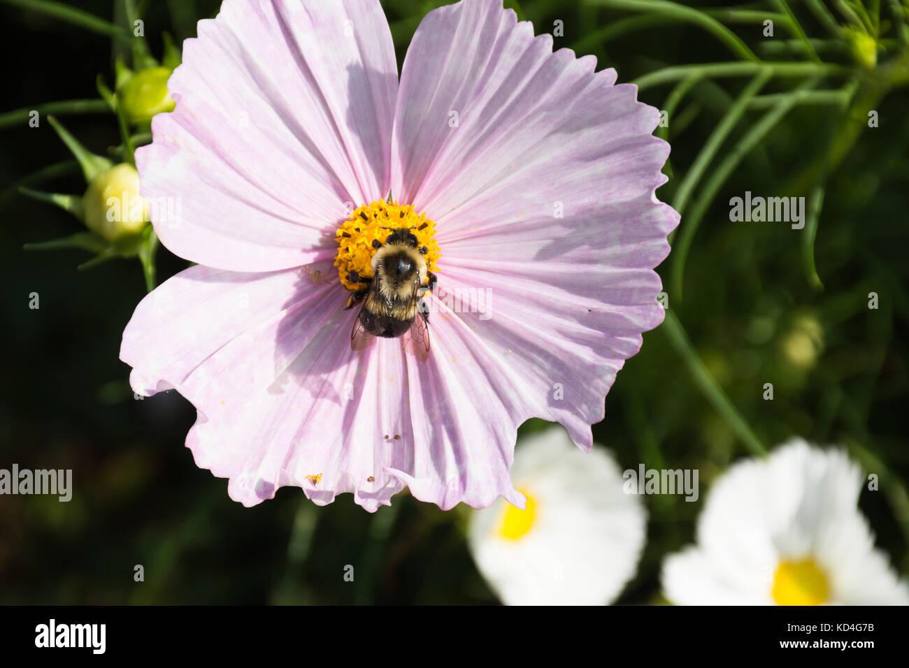 Cierre de un abejorro recogiendo polen de una flor rosa. Es también una araña en un pétalo, cerca Imagen De Stock