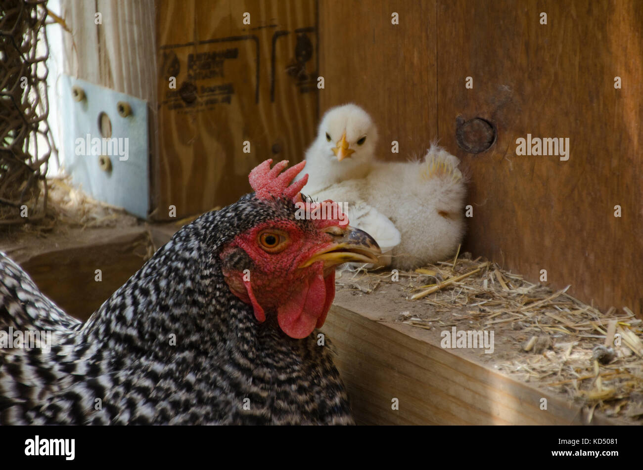 Blanco y negro madre gallina Plymouth Rock con amarillo polluelo en coop, Maine, EE.UU. Imagen De Stock