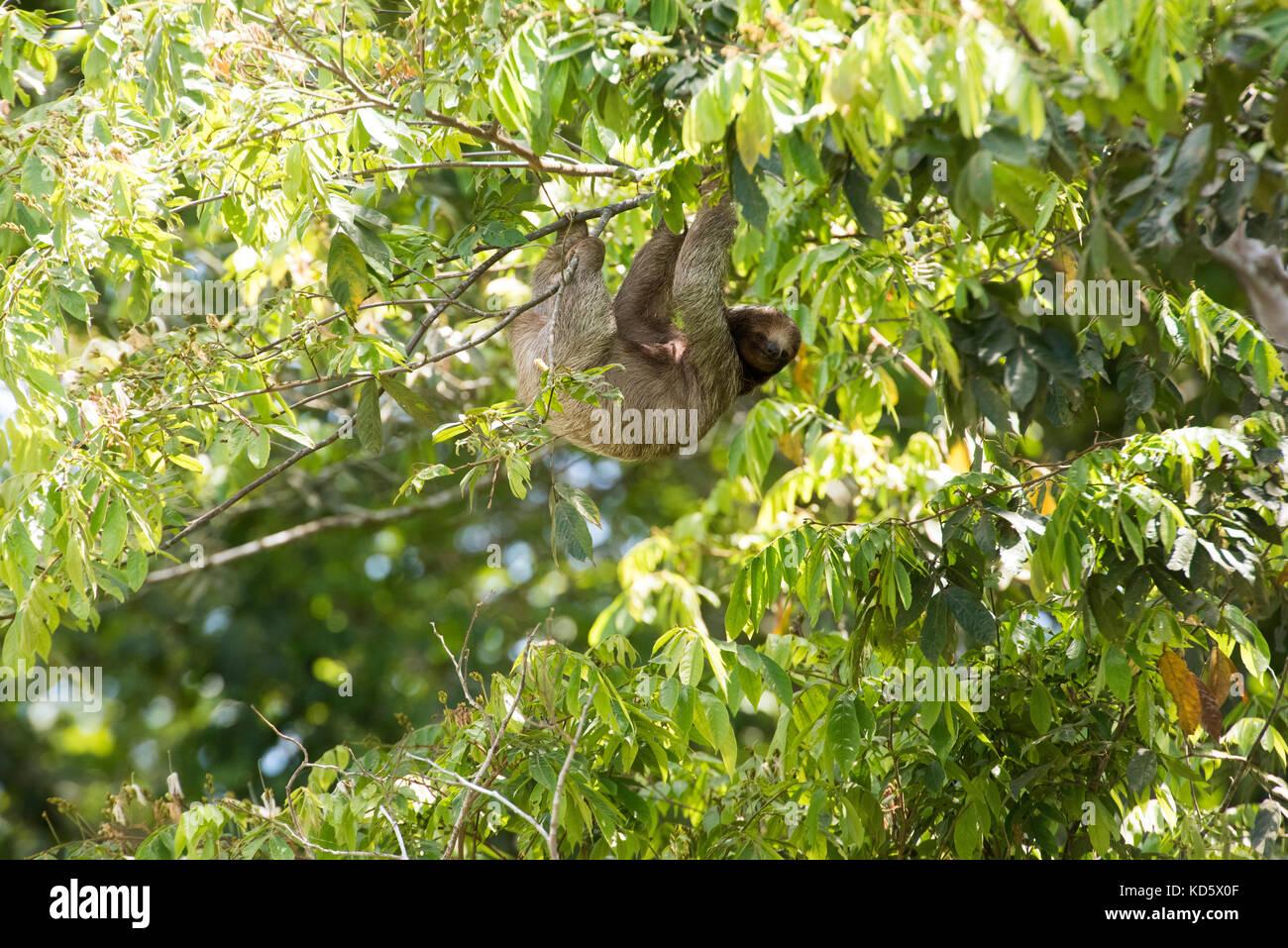 Perezoso de tres dedos colgando de un árbol, Costa Rica Foto de stock