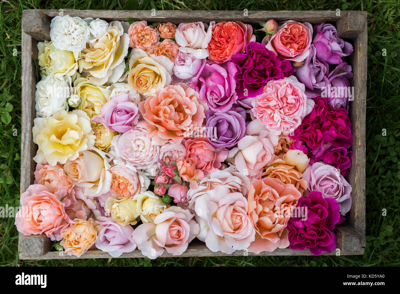 Say It With Roses Imágenes De Stock & Say It With Roses Fotos De ...