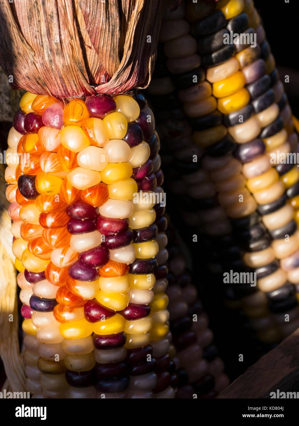 El maíz indio, Woodstock Farmers' Market, al oeste de Woodstock, Vermont. Imagen De Stock