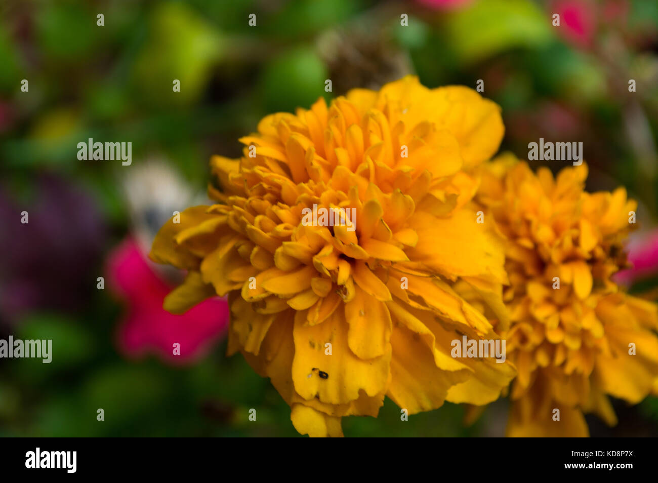 October Birthday Flower Imgenes De Stock October Birthday Flower