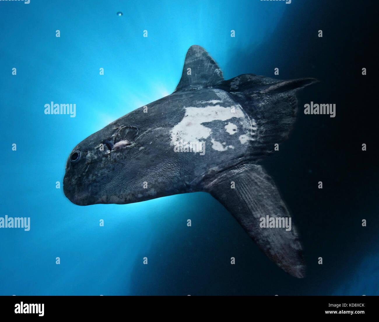 Mola, sharptail masturus lanceolatus. raras especies que generalmente viven desde 5 a 200 m., pero en la noche que Imagen De Stock