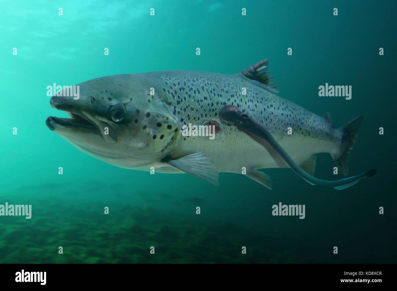 Mar joven lamprey, Petromyzon marinus, parasitando a gran Salmón Salmo salar. nota otra marca circular de boca Imagen De Stock