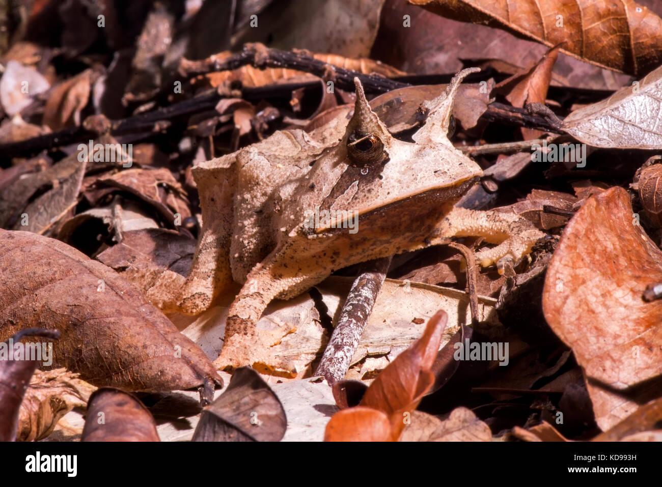 """""""Apo-de-chifre (proceratophrys laticeps) fotografado em linhares, Espírito Santo, sudeste de Brasil. bioma Imagen De Stock"""