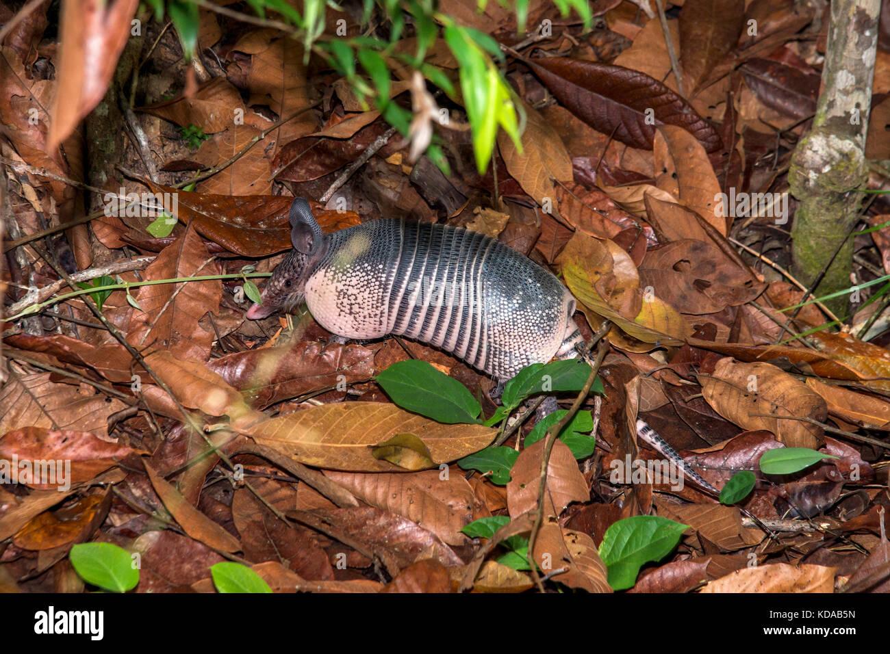 'Tatu-galinha (Dasypus novemcinctus) fotografado em linhares, Espírito Santo, sudeste de Brasil. bioma Imagen De Stock