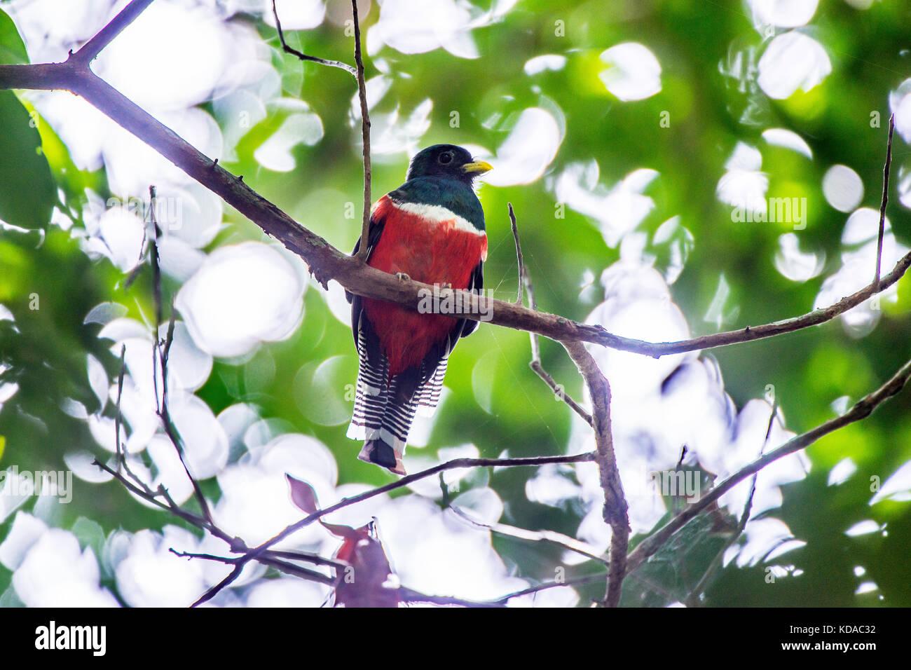 """""""Urucuá-de-coleira (Trogon collaris) fotografado em linhares, Espírito Santo, sudeste de Brasil. Imagen De Stock"""