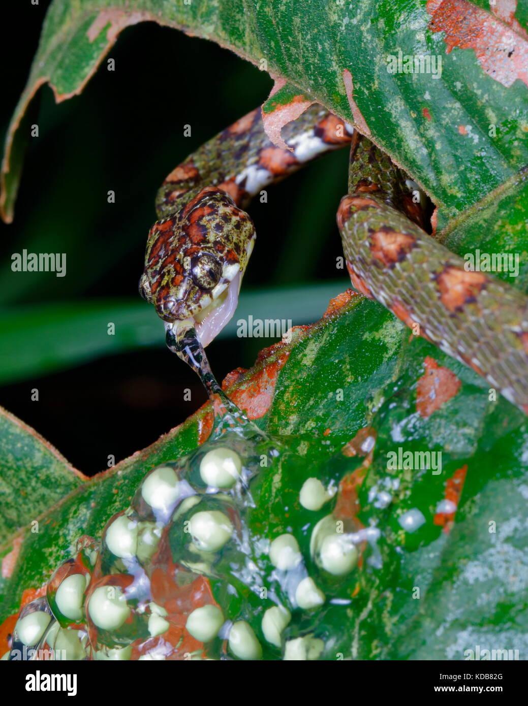 Un caracol Sucker, Sibon Argus argus, alimentándose de huevos de rana arborícola de ojos rojos. Imagen De Stock