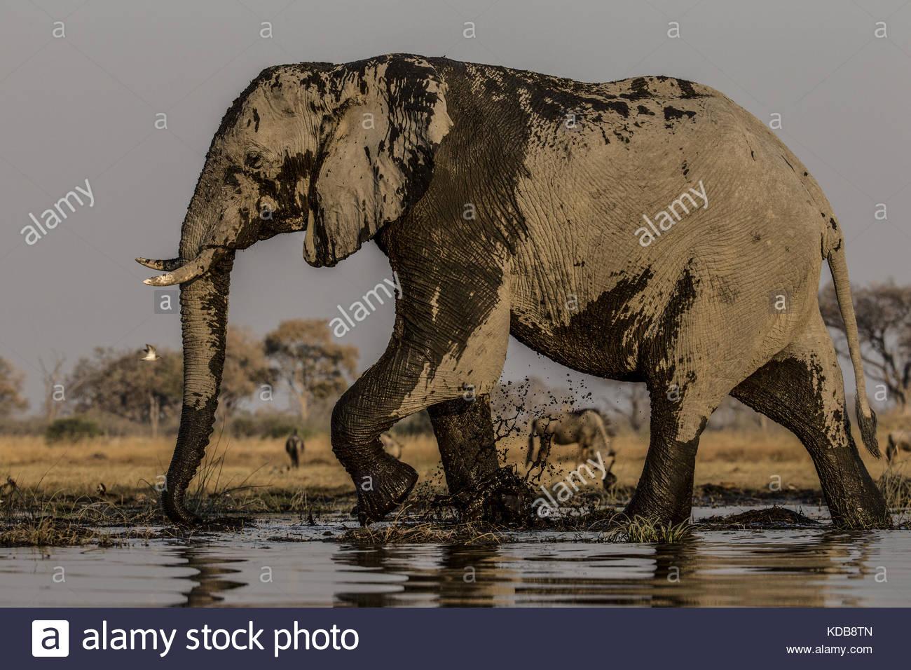 Un elefante, Loxodonta africana, se encuentra en el vertedero y las salpicaduras. Imagen De Stock
