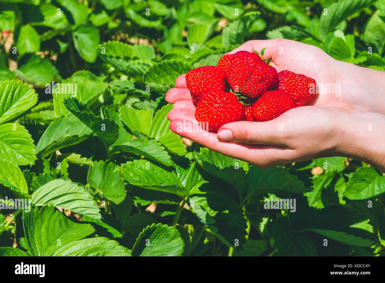 Recogi deliciosas fresas frescas celebrada en las manos sobre las plantas de fresa Imagen De Stock