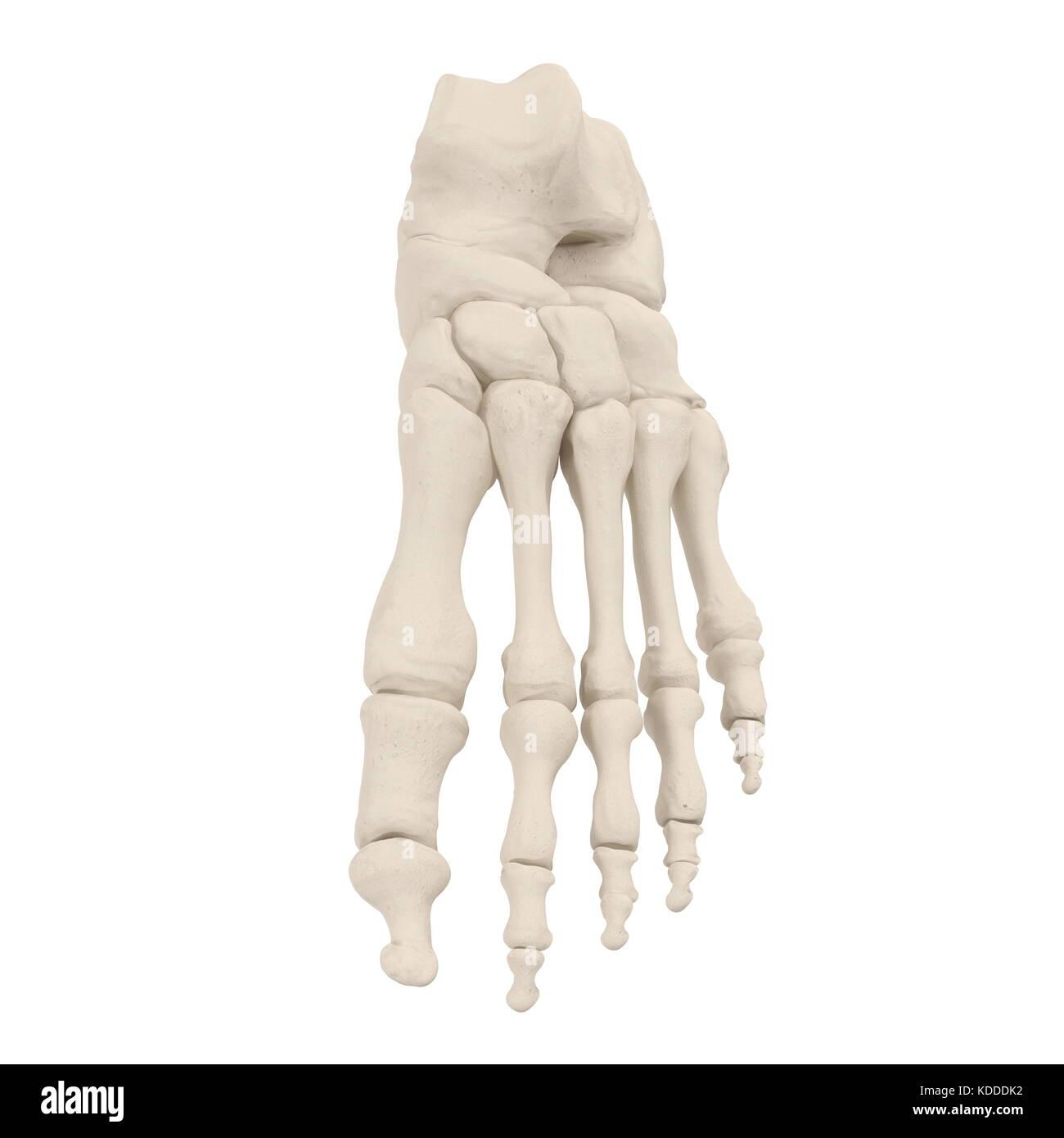 Fantástico Huesos De Las Piernas En Los Seres Humanos Patrón ...