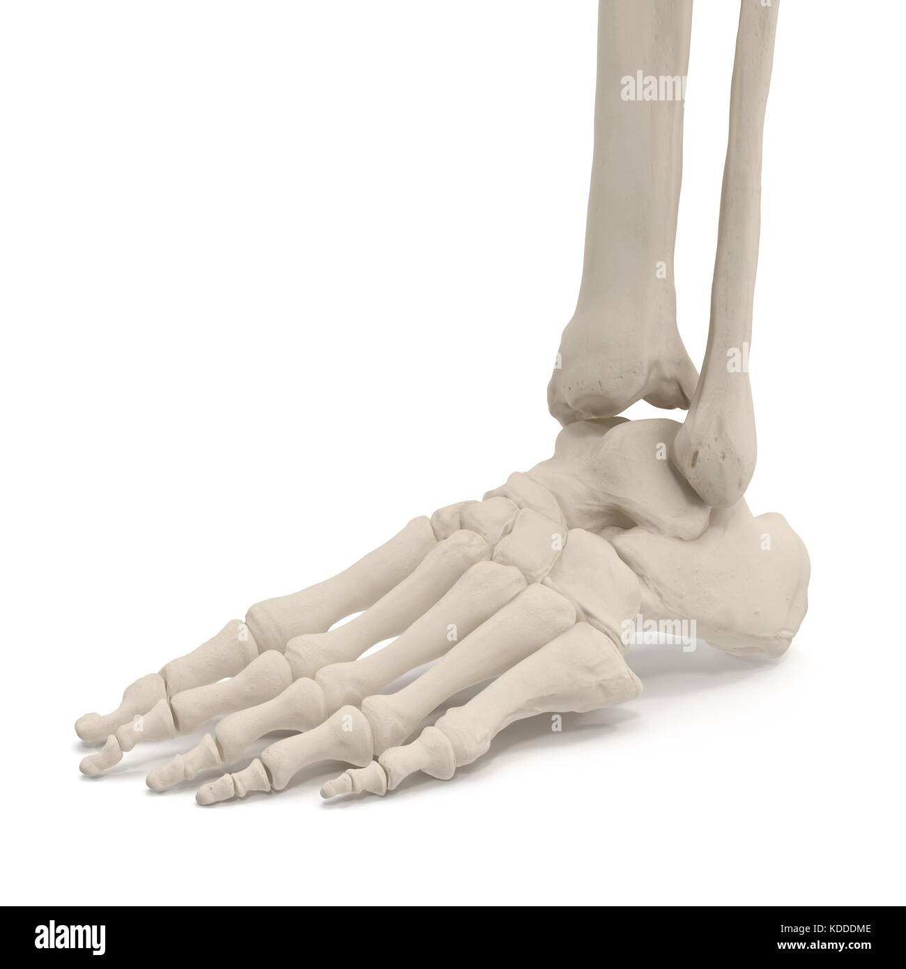 Lujo Huesos De Las Piernas En Los Seres Humanos Fotos - Imágenes de ...