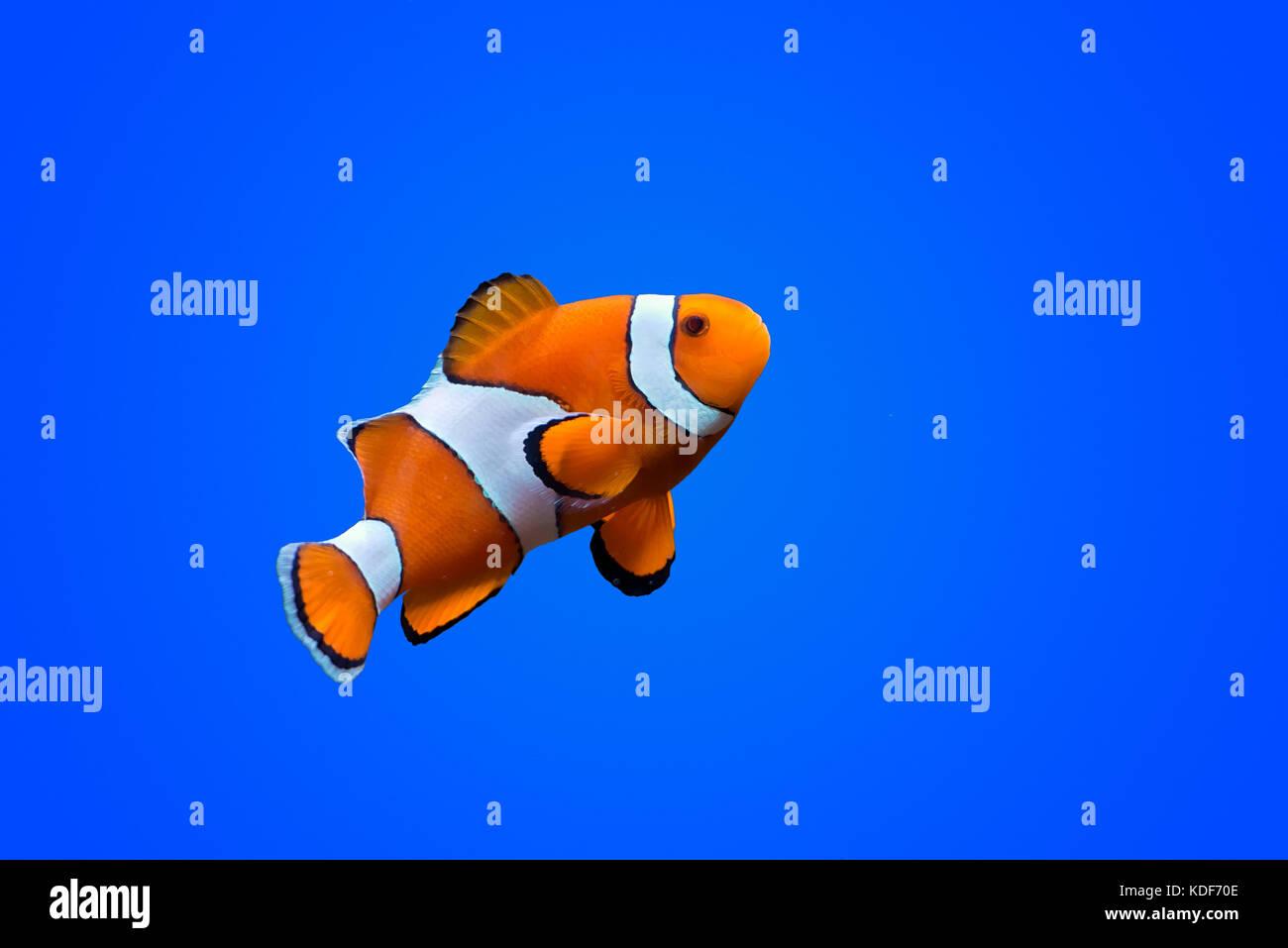Pez payaso amphiprioninae sobre fondo de color azul profundo del mar Imagen De Stock