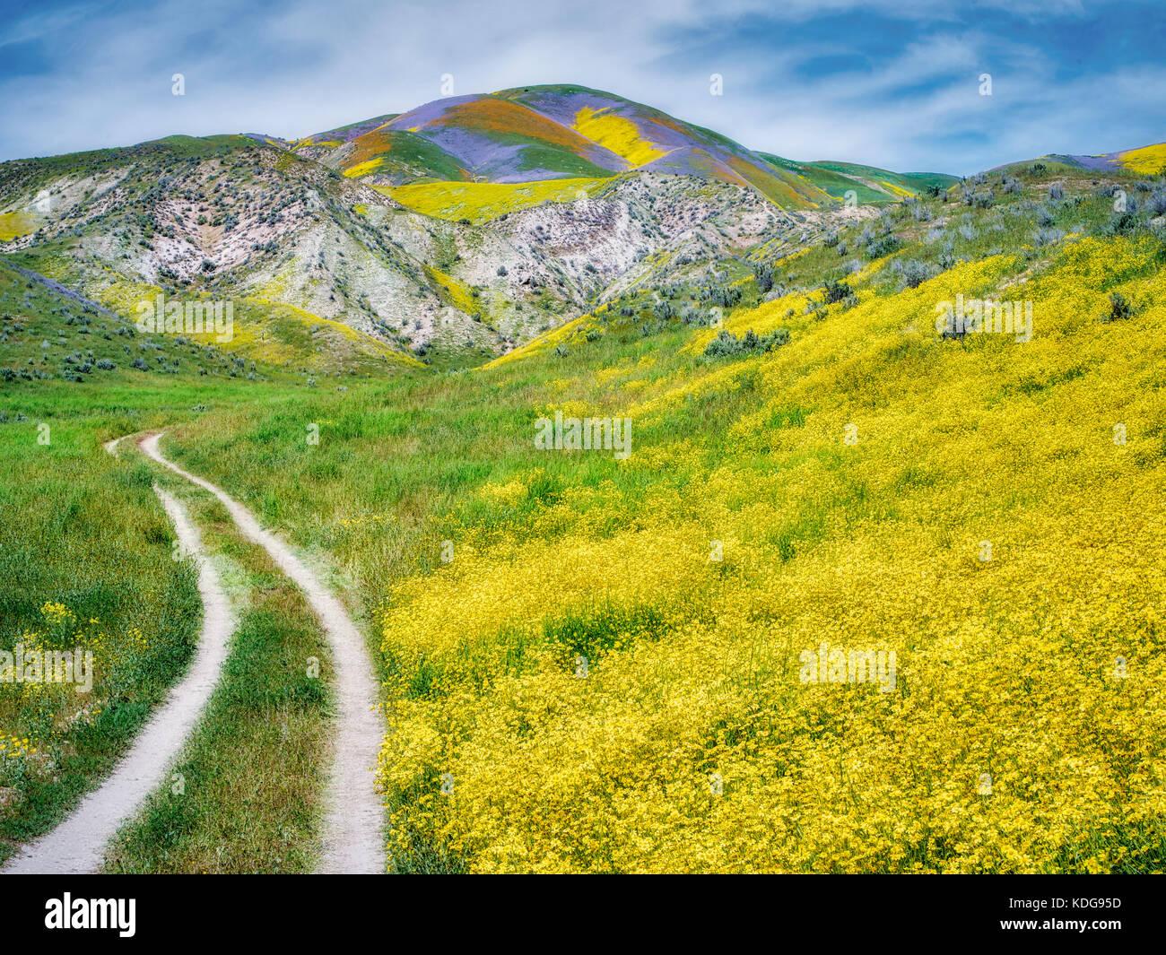 Campo de Daisies Hillside (Monolopia lanceolata) y camino de tierra Carrizo Plain Monumento Nacional, California Foto de stock