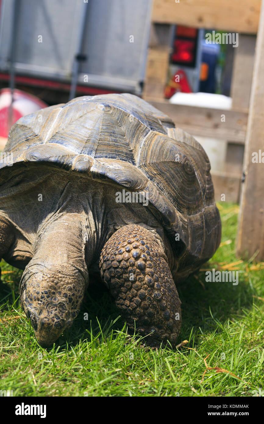 Aldabra tortuga gigante comiendo hierba Imagen De Stock