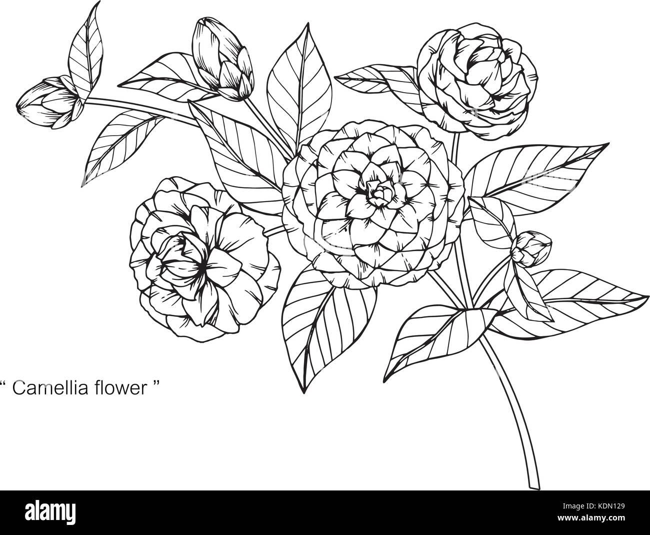 Dibujo De Flores De Camelia Ilustración. Blanco Y Negro