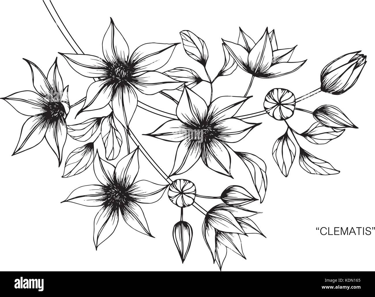 Clematis Flor Dibujo Ilustración. Blanco Y Negro Con La