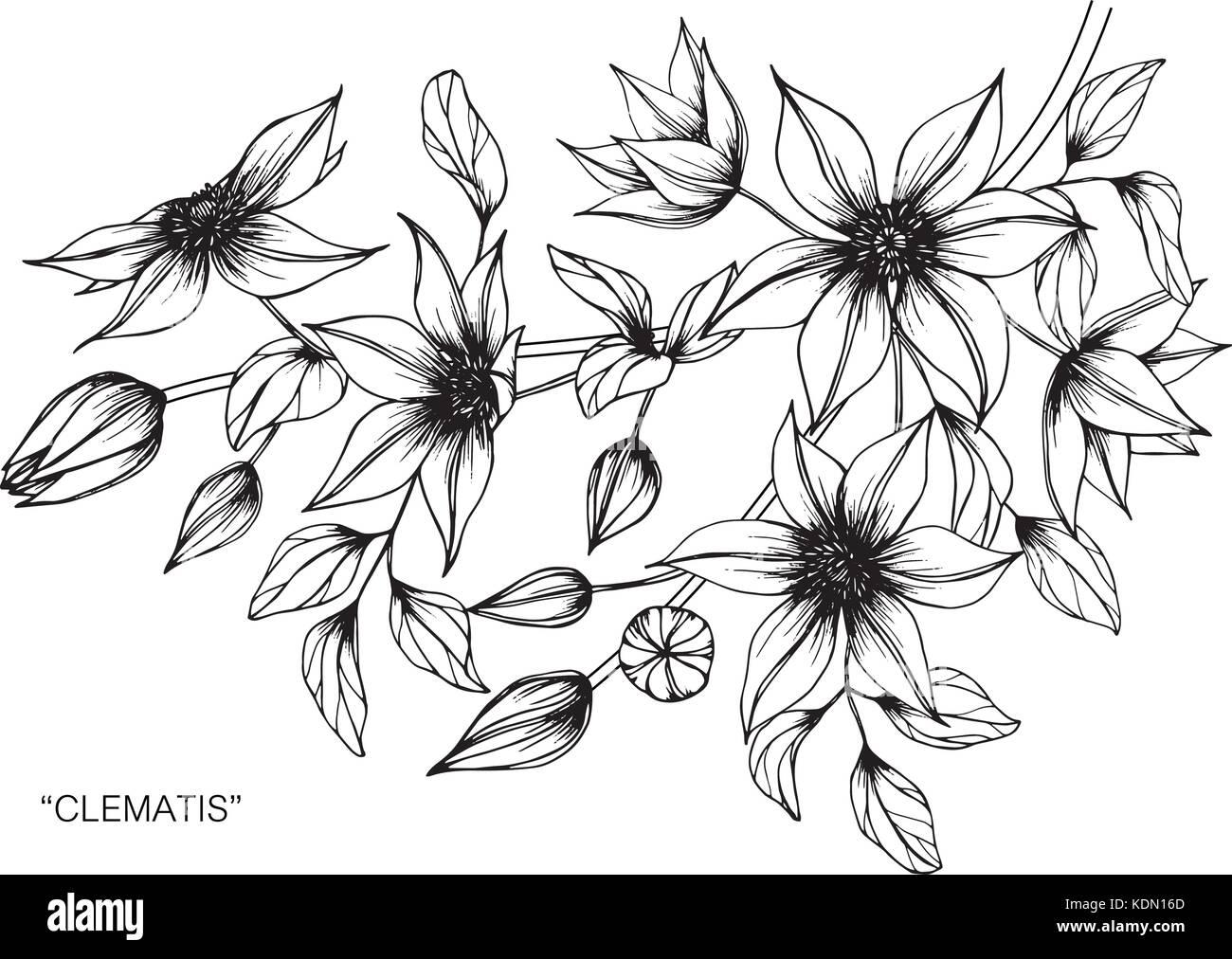 Clematis Flor Dibujo Ilustración Blanco Y Negro Con La
