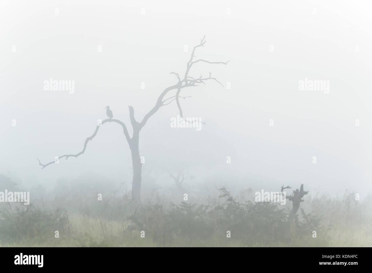 Tierra del sur (bucorvus leadbeateri bucero) encaramado en un árbol durante la niebla matutina, el parque nacional Kruger, Sudáfrica Foto de stock