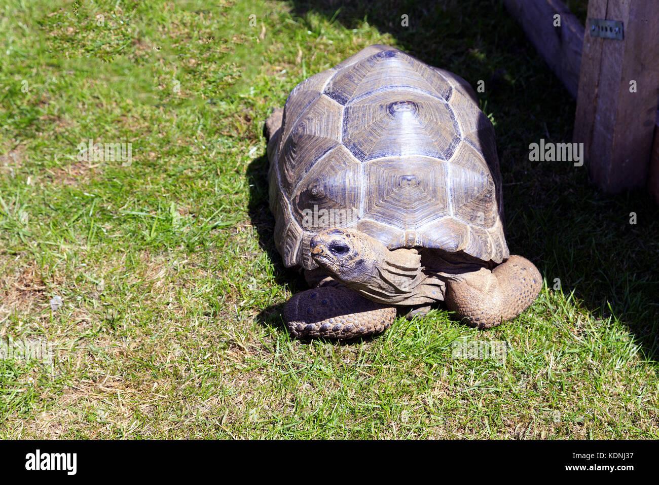 Aldabra joven tortuga gigante Imagen De Stock
