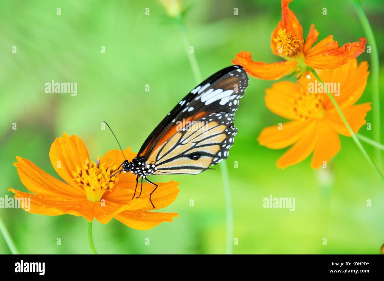 Hermosas Mariposas Alimentándose De Bonitas Flores De Color Naranja