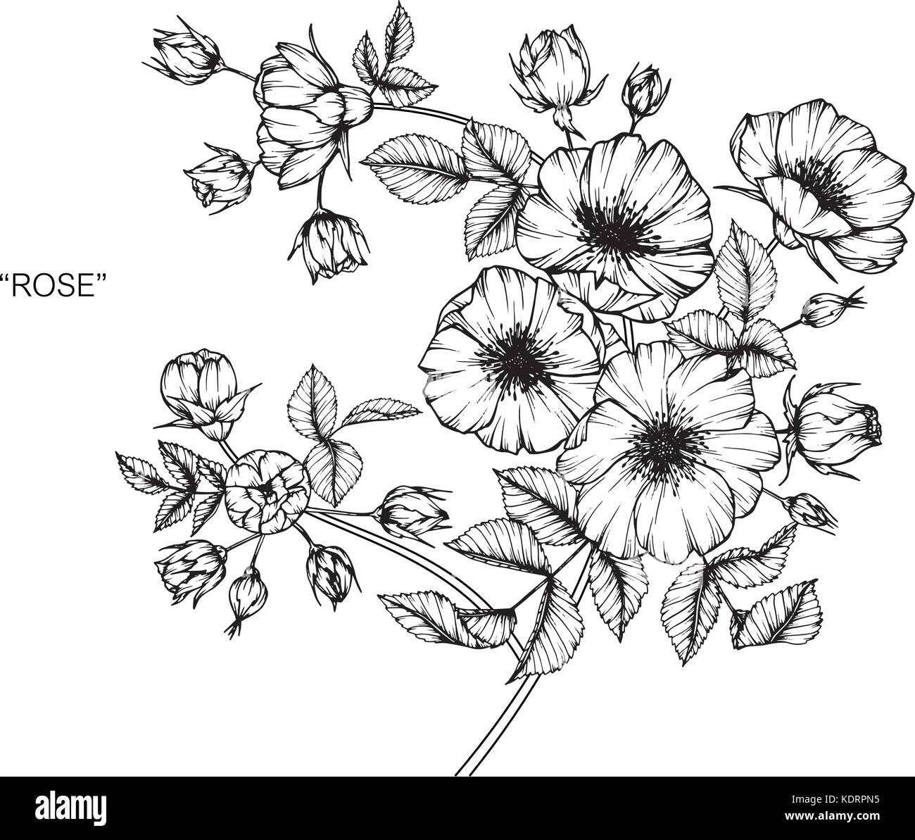 Las Rosas Silvestres Ilustración Dibujo De Flores Blanco Y Negro