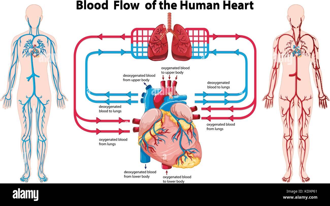 Diagrama que muestra el flujo sanguíneo del corazón humano ...