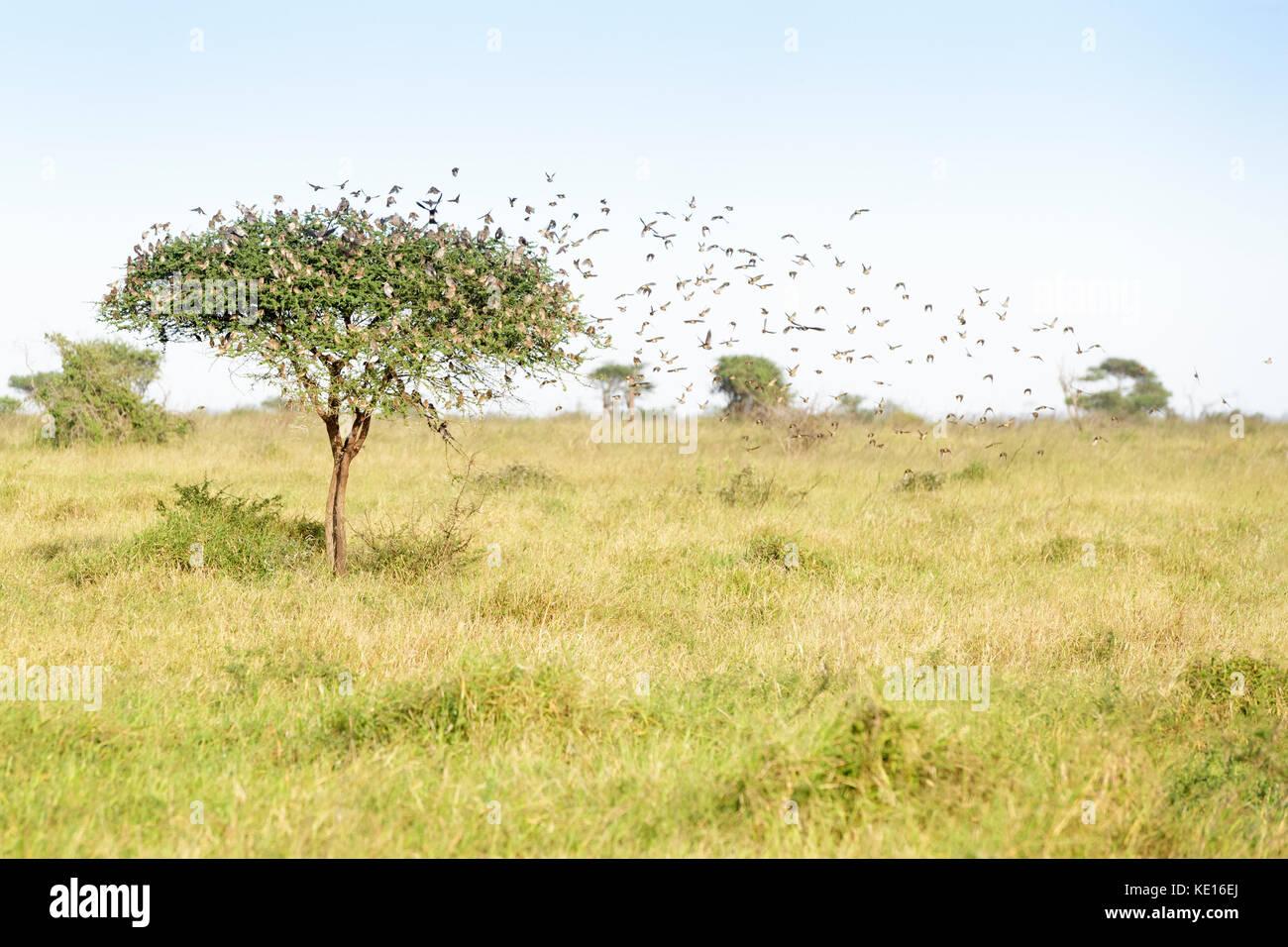 Rojo-facturado (quelea quelea quelea) congregándose alrededor del árbol, el parque nacional Kruger, Sudáfrica. Imagen De Stock
