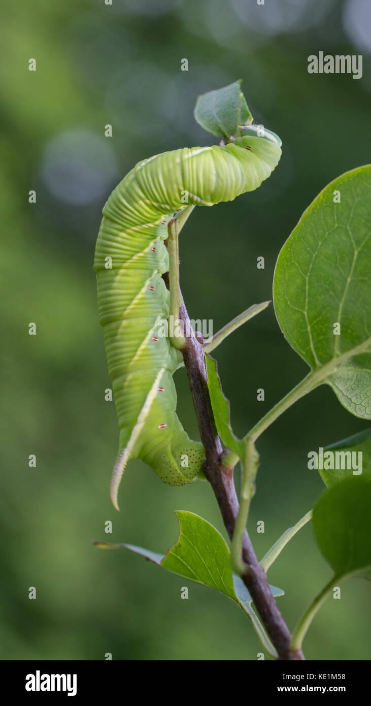 Tobacco hornworm caterpillar, Manduca sexta, comiendo una hoja, Ontario, Canadá Foto de stock