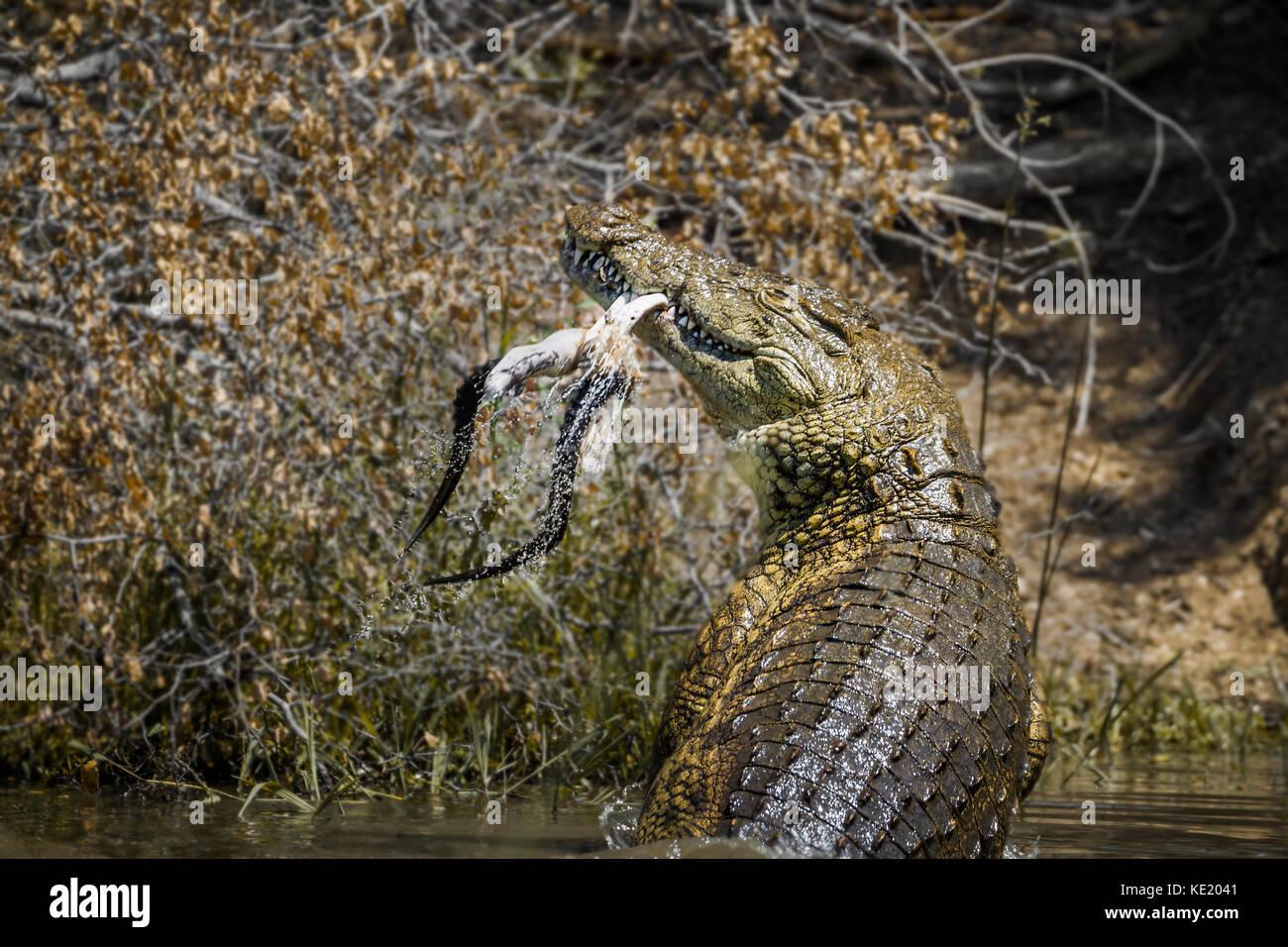 El cocodrilo del Nilo en el parque nacional Kruger, Sudáfrica ; especie Crocodylus niloticus familia crocodylidae Foto de stock