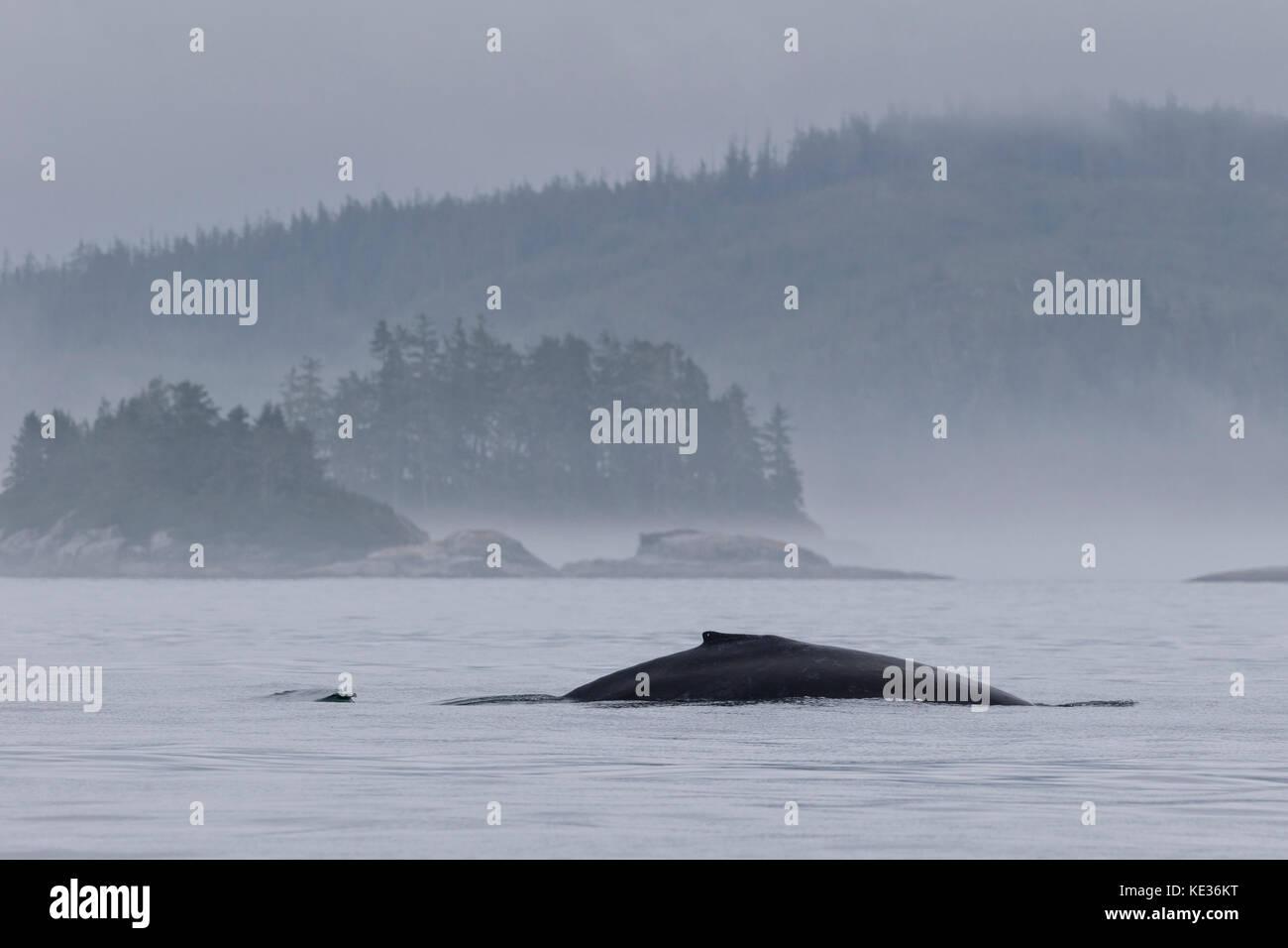 Niebla por la mañana con una ballena jorobada delante de la pequeña isla del archipiélago broughton provincial fuera del parque marino de la isla de Vancouver, en Columbia Británica, Canadá Foto de stock