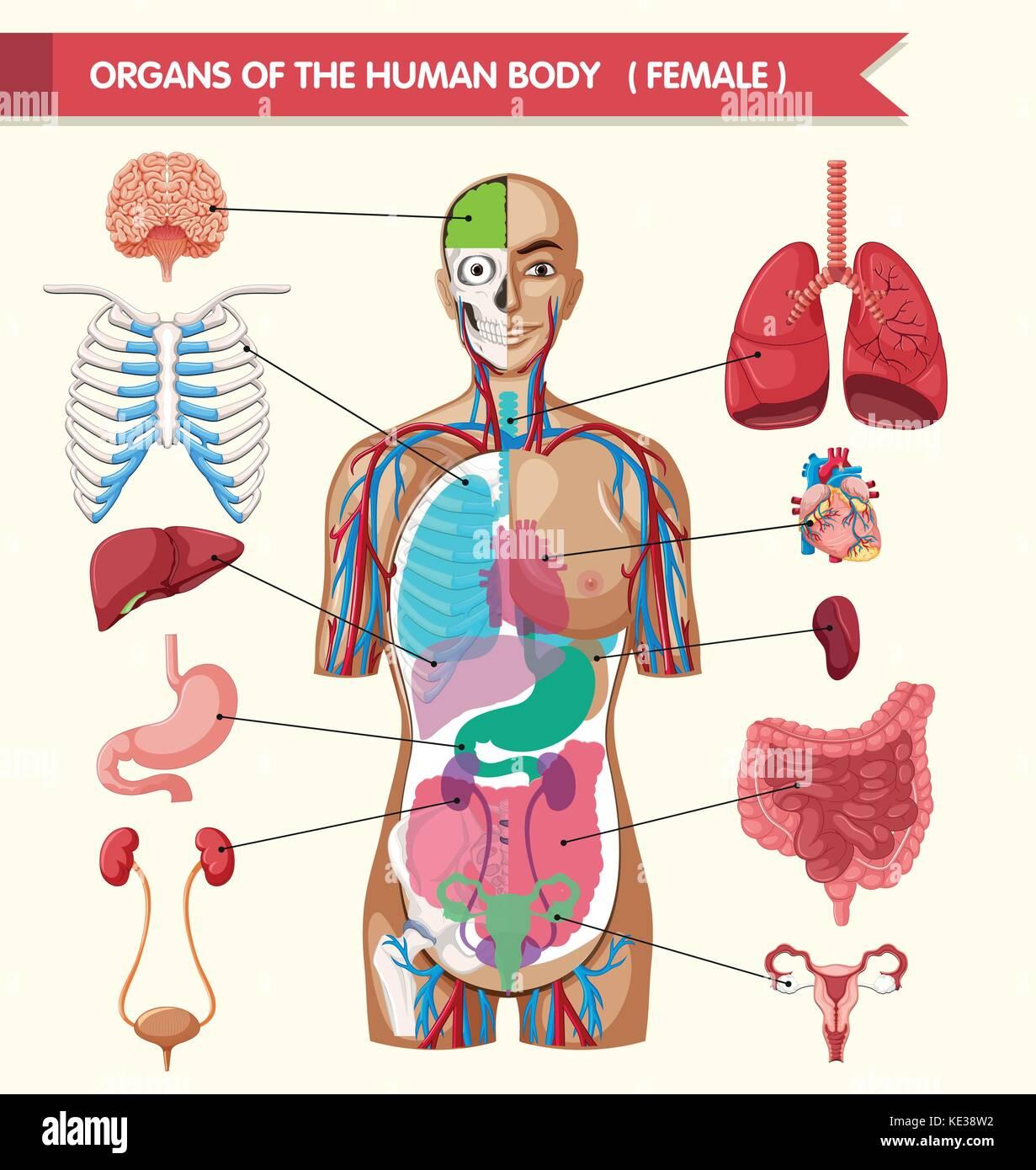 Perfecto órgano Del Cuerpo Diagrama Macho Molde - Anatomía de Las ...