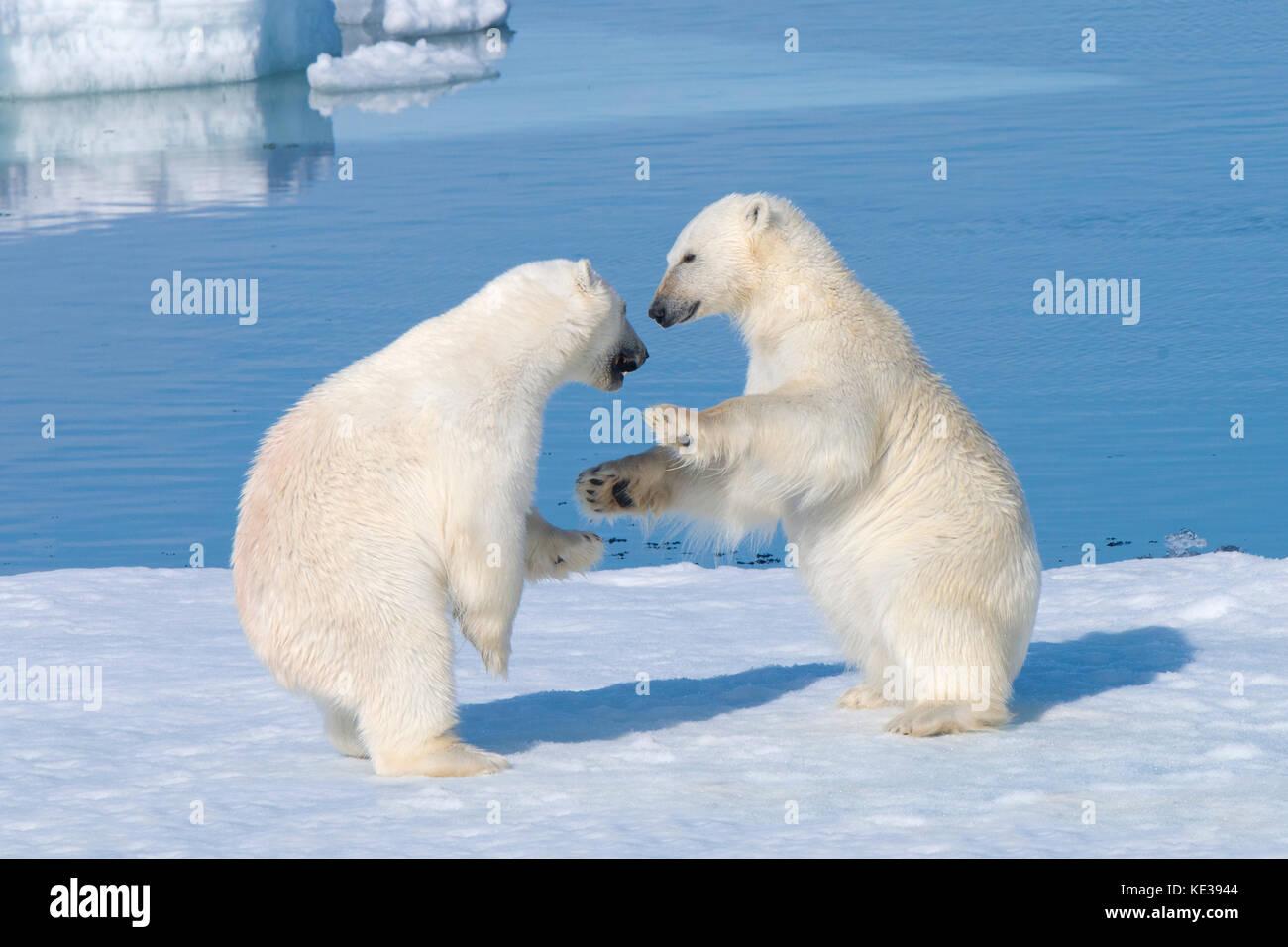 Dos años de crías de oso polar (Ursus maritimus) jugando, el archipiélago de Svalbard, Noruega, el Imagen De Stock