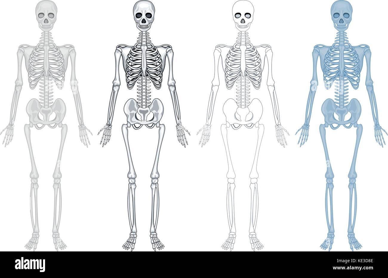 Lujoso Diagrama Del Sistema Esquelético Humano Marcado Modelo ...