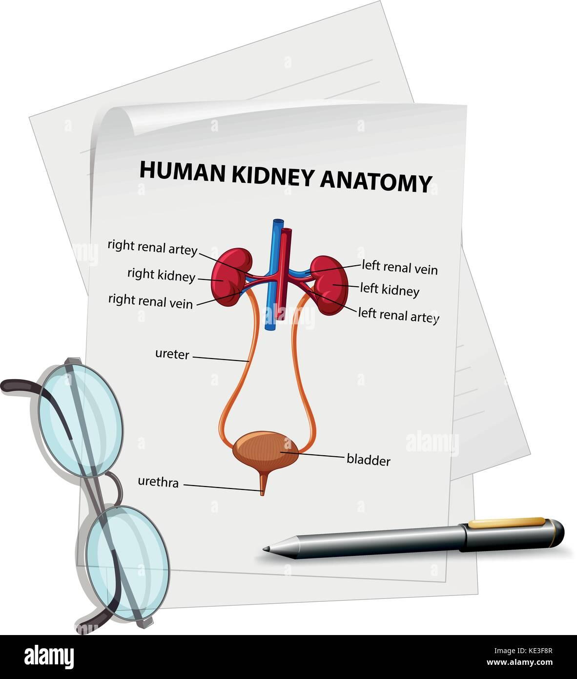 Diagrama que muestra la Anatomía del riñón en papel ilustración ...