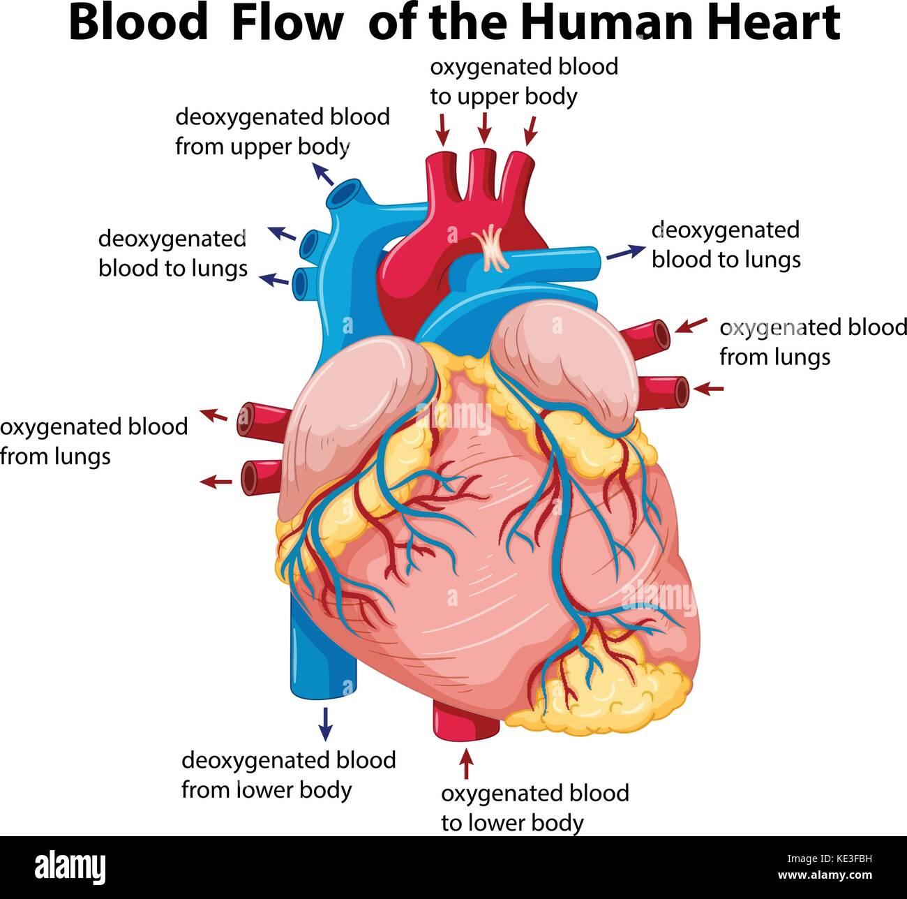 Diagrama que muestra el flujo de la sangre en el corazón humano la ...