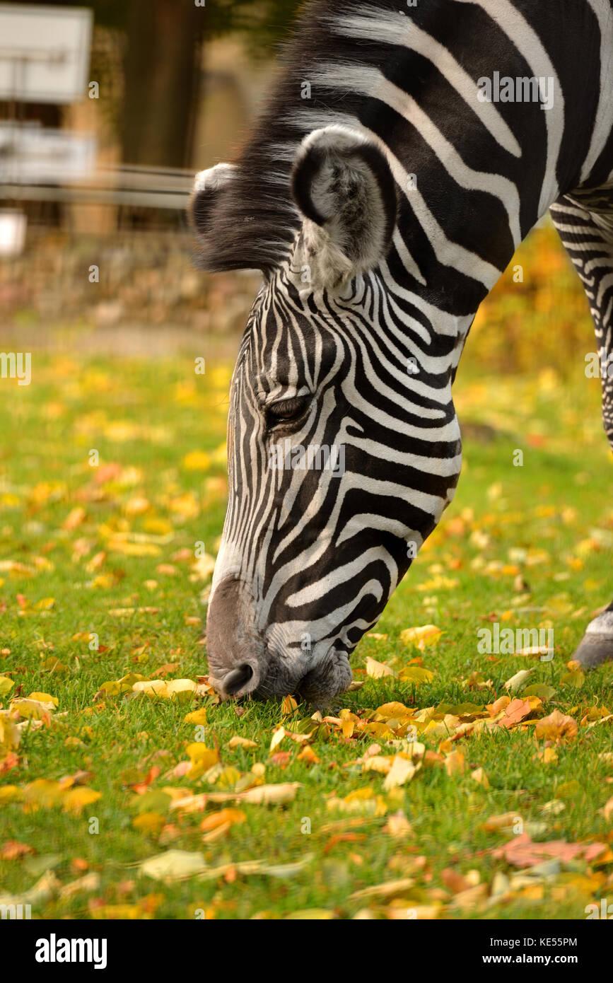 Grevy zebra (Equus grevyi), también conocido como zebra otoño retrato imperial. Foto de stock