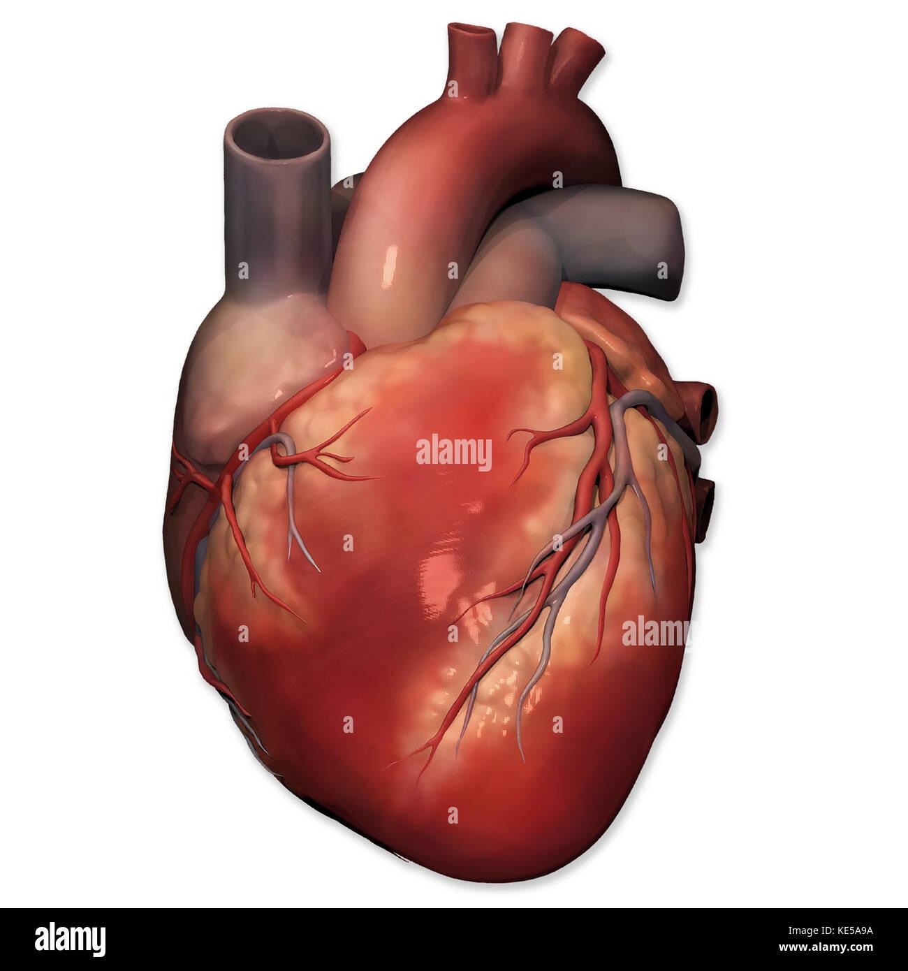 Vista anterior del coraz n humano anatom a foto imagen for Fotos del corazon
