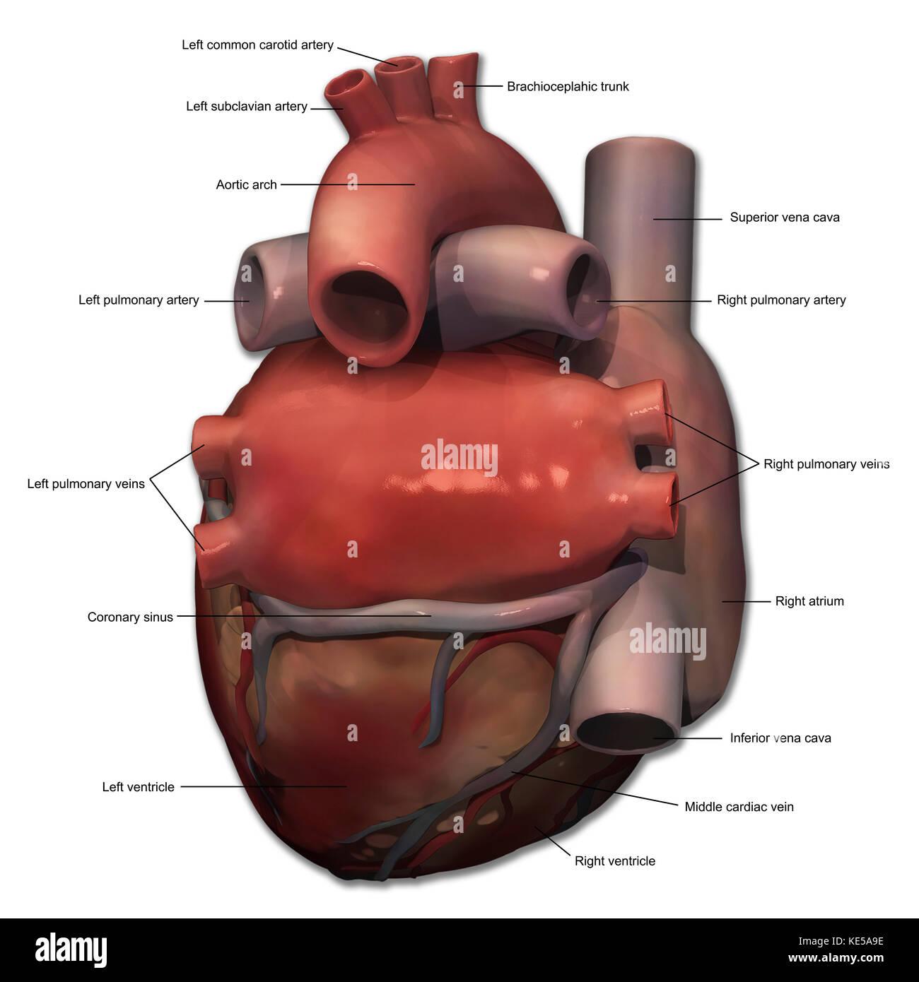 Vista Posterior De La Anatomia Del Corazon Humano Con Anotaciones