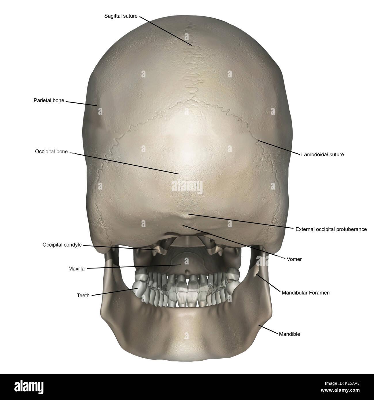 Vista posterior del cráneo humano anatomía con anotaciones Foto ...