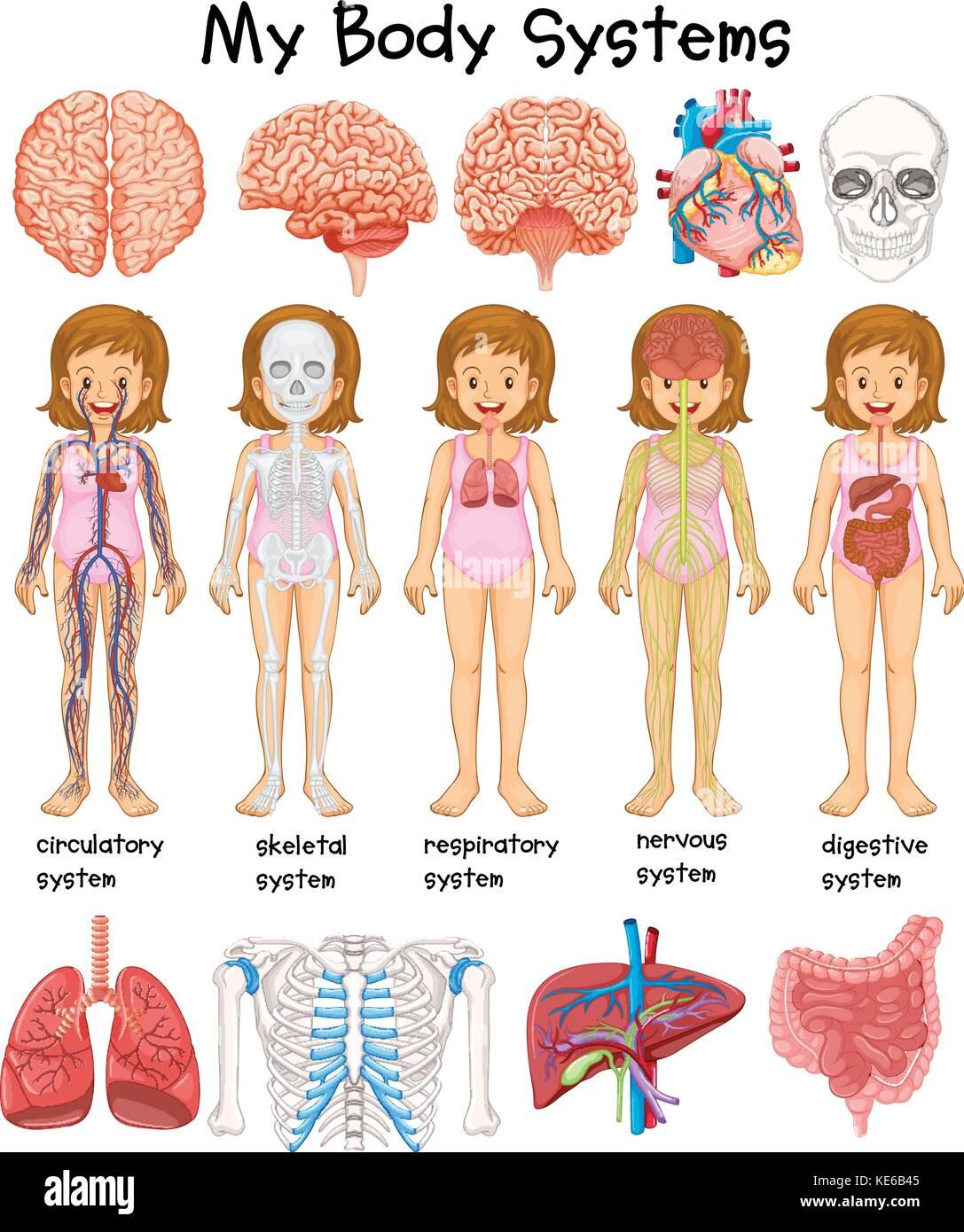 Ejemplo de diagrama de sistemas del cuerpo humano Ilustración del ...
