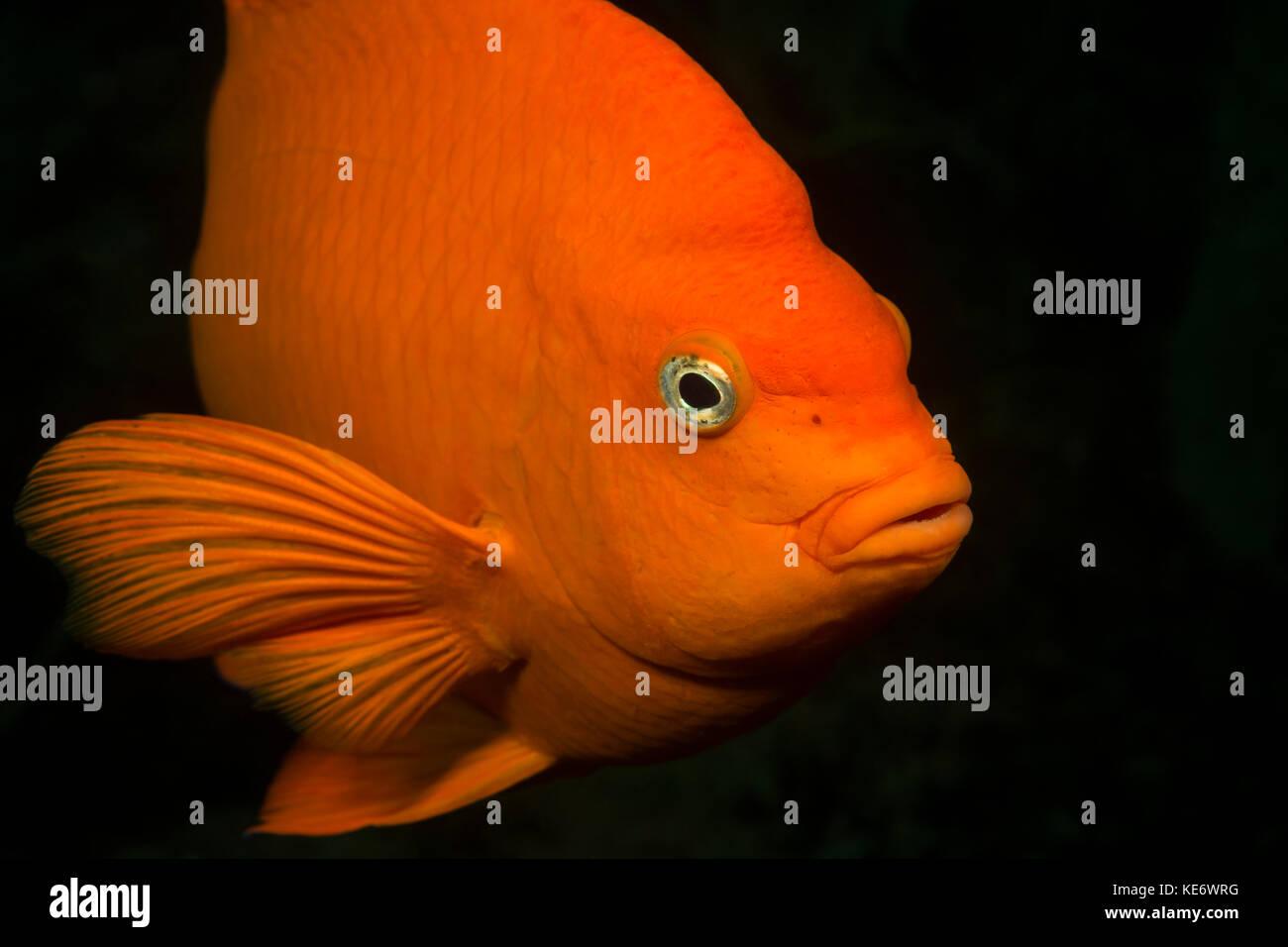 Peces Garibaldi, hypsypops rubicundus, Catalina Island, California, EE.UU. Imagen De Stock