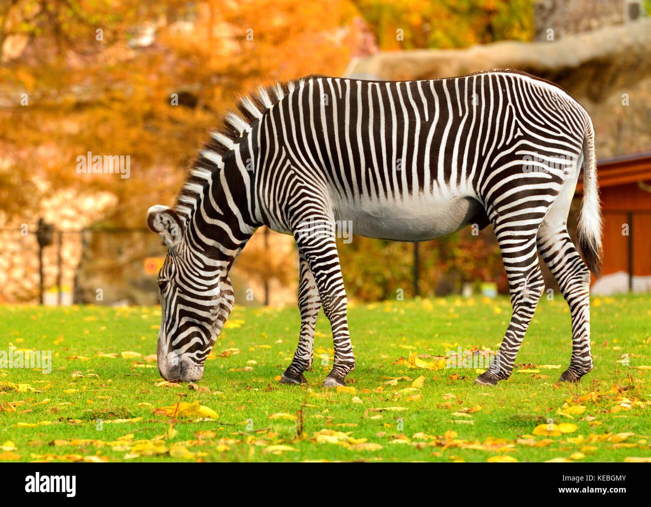 Grevy zebra (Equus grevyi), también conocido como imperial cebra en verano indio Imagen De Stock